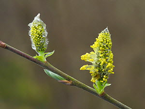 Grey willow (Salix cinerea) close up of male flowers, Hertfordshire, England, UK, April, Focus Stacked - Andy Sands