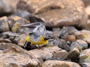 Grey wagtail (Motacilla cinerea) male stretching, Upper Teesdale, Co Durham, England, UK, June  -  Andy Sands