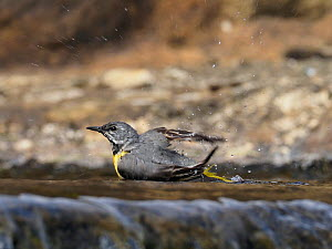 Grey wagtail (Motacilla cinerea) male bathing on top of weir, Upper Teesdale, Co Durham, England, UK, June - Andy Sands