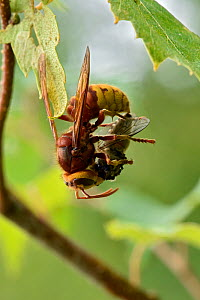 Hornet (Vespa crabro) hanging by one leg whilst dis-membering prey, Buckinghamshire, England, UK, July  -  Andy Sands