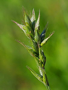 Interrupted brome (Bromus interruptus) very rare grass that is endemic to the UK and became the first endemic plant to become extinct in the wild in the UK in 1972, it has now become the first extinct... - Andy Sands