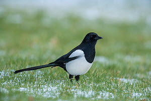 Magpie (Pica pica) standing on lawn after light snowfall, Buckinghamshire, England, UK, February  -  Andy Sands