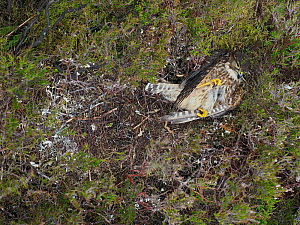 Merlin (Falco columbarius) Female dead in nest predated by Stoat, Upper Teesdale, Co Durham, England, UK, June - Andy Sands