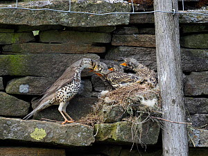 Mistle thrush (Turdus viscivorus) feeding young at nest, Upper Teesdale, Co Durham, England, UK, June - Andy Sands