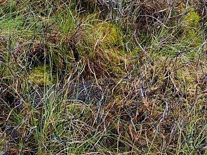 Red grouse (Lagopus lagopus scoticus) female on nest camouflaged, Upper Teesdale, Co Durham, England, UK, June  -  Andy Sands