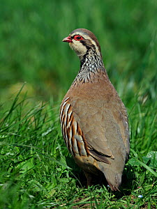 Red-legged partridge (Alectoris rufa) Looking back over shoulder, Hertfordshire, England, UK, May - Andy Sands