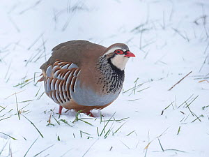 Red-legged partridge (Alectoris rufa) In snow, Hertfordshire, England, UK, December - Andy Sands