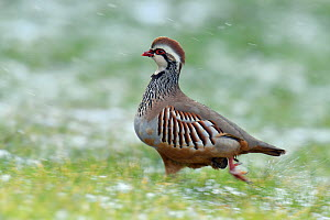 Red-legged partridge (Alectoris rufa) running during snow shower, Hertfordshire, England, UK, February - Andy Sands