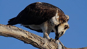 Osprey (Pandion haliaetus) feeding on a fish, perched on a dead branch, Bolsa Chica Ecological Reserve, California, USA, October. - John Chan