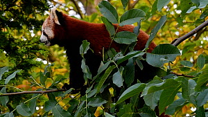 Red panda (Ailurus fulgens) walking along a tree branch. Captive, native to the eastern Himalayas and southwestern China. - Philippe Clement