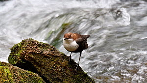 European dipper (Cinclus cinclus) perched on rock in stream and bobbing, Luxembourg, April. - Philippe Clement
