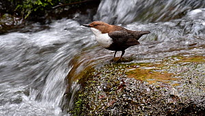 European dipper (Cinclus cinclus) perched on a rock at the base of a waterfall and bobbing, Luxembourg, April. - Philippe Clement