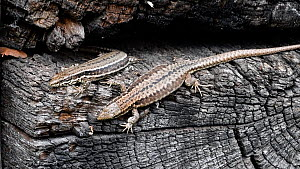 Two Common wall lizards (Podarcis muralis) basking on an old log, La Brenne, France, April.  -  Philippe Clement