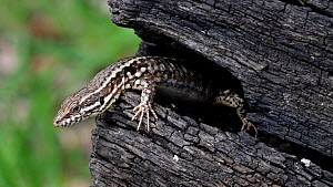 Two Common wall lizards (Podarcis muralis) interacting on a burnt log, La Brenne, France, April.  -  Philippe Clement