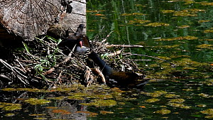 Male Moorhen (Gallinula chloropus) bringing twigs to female and building nest, France, May.  -  Philippe Clement