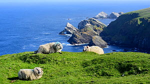 Shetland sheep ruminating on sea cliff, Hermaness NNR, Unst, Shetland Islands, Scotland, UK, May.  -  Philippe Clement