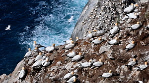 Northern gannets (Morus bassanus) preening at breeding colony, Hermaness NNR, Unst, Shetland Islands, Scotland, UK, May. - Philippe Clement