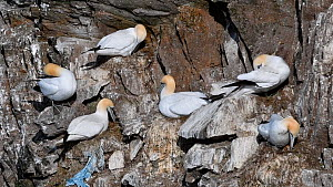 Northern gannets (Morus bassanus) preening, sitting on nests made with plastic, Hermaness NNR, Unst, Shetland Islands, Scotland, UK, May. - Philippe Clement