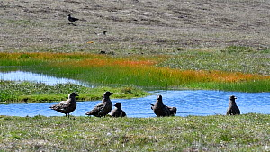 Group of Great skuas (Stercorarius skua) near a lochan, Shetland Islands, Scotland, UK, May - Philippe Clement