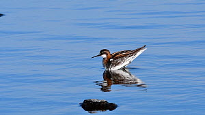 Male Red necked phalarope (Phalaropus lobatus) in breeding plumage, Loch of Funzie, Fetlar, Shetland Islands, Scotland, UK, May.  -  Philippe Clement