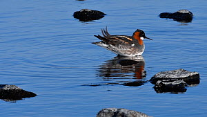 Female Red necked phalarope (Phalaropus lobatus) in breeding plumage, Loch of Funzie, Fetlar, Shetland Islands, Scotland, UK, May.  -  Philippe Clement