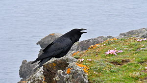 Common raven (Corvus corax) calling from top of sea cliff, Eshaness, Northmavine, Shetland Islands, Scotland, UK, May.  -  Philippe Clement
