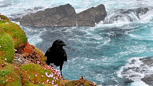 Territorial Common raven (Corvus corax) on cliff top, tearing out vegetation, Eshaness, Northmavine, Shetland Islands, Scotland, UK, May.  -  Philippe Clement