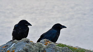 Two juvenile Common ravens (Corvus corax) perched above a sea cliff, Eshaness, Northmavine, Shetland Islands, Scotland, UK, May.  -  Philippe Clement
