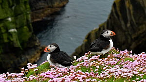 Two Atlantic puffins (Fratercula arctica) in breeding plumage on cliff top, Sumburgh Head, Shetland Islands, Scotland, UK, June.  -  Philippe Clement