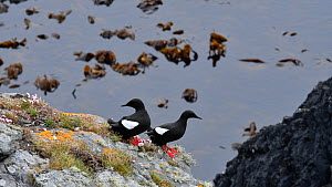 Pair of Black guillemots (Cepphus grylle) resting on a sea cliff, Shetland Islands, Scotland, UK, June.  -  Philippe Clement