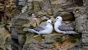Pair of Fulmars  (Fulmarus glacialis) calling and interacting, perched on  a rock ledge, Shetland Islands, Scotland, UK, June. - Philippe Clement