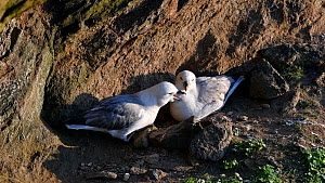 Pair of Fulmars  (Fulmarus glacialis) nesting on a rock ledge and calling, Shetland Islands, Scotland, UK, June. - Philippe Clement
