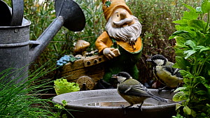Two Great tits (Parus major) drinking water from a bird bath, Belgium, July.  -  Philippe Clement