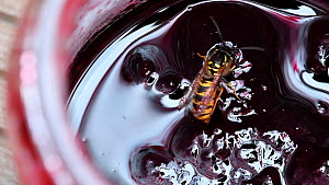 Common wasp (Vespula vulgaris) feeding on jam inside a jar, Belgium, August.  -  Philippe Clement