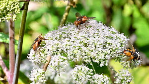 Tachina flies (Tachina fera) nectaring on Umbellifer (Apiaceae) flowers in summer, Luxembourg, August. - Philippe Clement