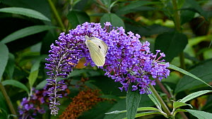 Large white butterfly (Pieris brassicae) and Hummingbird hawk-moth (Macroglossum stellatarum) in flight, nectaring from Buddleia (Buddleja davidii) flower, Pyrenees, France, Sepetember.  -  Philippe Clement