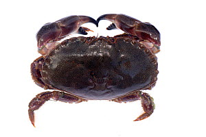 Edible crab (Cancer pagurus) from Atlantic Ocean. Cornwall, England, UK. September. - Nick Upton