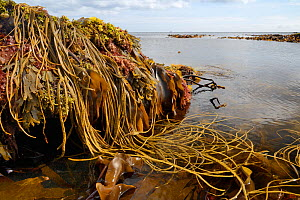 Seaweeds including Thongweed / Sea thong (Himanthalia elongata), Tangleweed kelp (Laminaria digitata), Toothed wrack (Fucus serratus) and Dulse (Palmaria palmata). Exposed on rocky shore on low spring...  -  Nick Upton