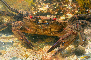 Velvet swimming crab (Necora puber) in rockpool. Near Falmouth, Cornwall, England, UK. September. - Nick Upton