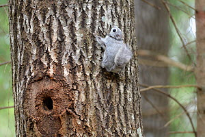 Siberian flying squirrel (Pteromys volans) fitted with radiocollar on Aspen (Populus tremula) trunk near nest hole. Mature mixed forest, near Lisaku, Estonia. April 2018. - Nick Upton