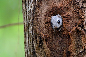 Siberian flying squirrel (Pteromys volans) peering out of nest hole in old Aspen (Populus tremula) tree. Mature mixed forest, near Lisaku, Estonia. April. - Nick Upton