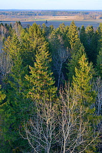 Lisaku Park Forest from above, a mix of mature Fir (Abies sp) trees, Birch (Betula sp) and Eurasian aspen (Populus tremula). Forest host to Siberian flying squirrel (Pteromys volans). Estonia, April 2... - Nick Upton