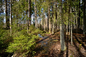 Mixed wet woodland including Aspen (Populus tremula) and Downy birch (Betula pubescens). Inhabited by rare surviving Siberian flying squirrel (Pteromys volans) population. Near Lisaku, Estonia. April... - Nick Upton