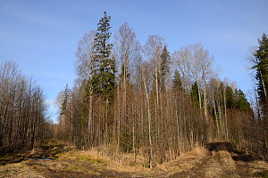 Mixed wet woodland including Aspen (Populus tremula) and Downy birch (Betula pubescens). Inhabited by a surviving population of Siberian flying squirrel (Pteromys volans). Near Lisaku, Estonia. April... - Nick Upton