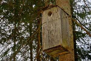 Nest box for Siberian flying squirrel (Pteromys volans) in mature mixed forest. Muraka Forest Reseve, near Lisaku, Estonia. April 2018.  -  Nick Upton