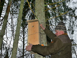 Forester hanging Siberian flying squirrel (Pteromys volans) nest box in mature mixed forest, Estonia. April 2018. Model released. - Nick Upton