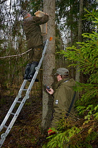 Researchers fitting Siberian flying squirrel (Pteromys volans) nest box to mature tree and recording position on GPS unit. Estonia. April 2018. Model released. - Nick Upton