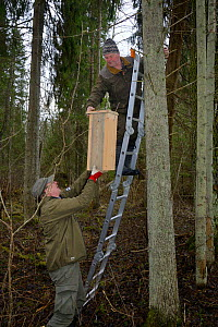 Researchers fitting Siberian flying squirrel (Pteromys volans) nest box to tree. Mature mixed forest, Estonia. April 2018. Model released.  -  Nick Upton