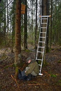 Researcher using laptop to check trailcam footage of Siberian flying squirrel (Pteromys volans) nest box in mature mixed forest. Near Lisaku, Estonia. April 2018. Model released.  -  Nick Upton