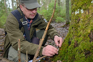 Researcher collecting Siberian flying squirrel (Pteromys volans) droppings below an old deciduous tree with an occupied nest hole. Muraka Forest Reserve, near Lisaku, Estonia. April 2018. Model releas... - Nick Upton